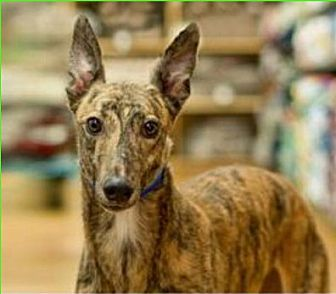 Greyhound Mix Dog for adoption in Aurora, Indiana - Greta