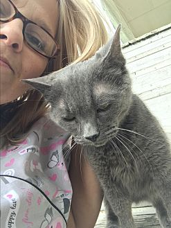 Russian Blue Cat for adoption in Cleveland, Tennessee - Dee