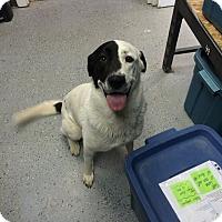 Labrador Retriever/Border Collie Mix Dog for adoption in Duchess, Alberta - Lucky