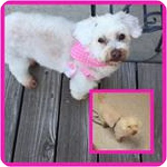 Maltese/Poodle (Miniature) Mix Dog for adoption in Tracy, California - Grace-ADOPTED!