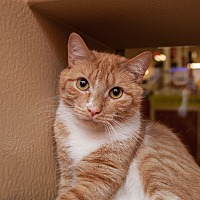 Adopt A Pet :: Sampson - Statesville, NC