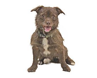 Norwich Terrier Mix Dog for adoption in Detroit, Michigan - Gunner