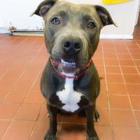 American Pit Bull Terrier Mix Dog for adoption in Wantagh, New York - Blue