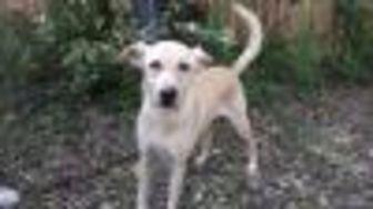 Labrador Retriever Mix Dog for adoption in Helotes, Texas - Caspian