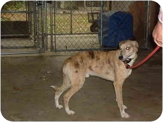 Whippet Dog for adoption in Chiefland, Florida - Whippet male