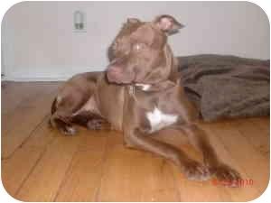 Staffordshire Bull Terrier Mix Puppy for adoption in Warren, New Jersey - Hershey