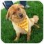 Photo 3 - Golden Retriever/Chow Chow Mix Dog for adoption in Richmond, Virginia - Red
