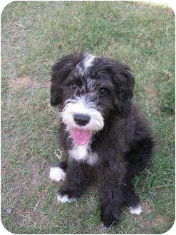 Portuguese Water Dog/Poodle (Miniature) Mix Dog for adoption in New Milford, Connecticut - Ruffi