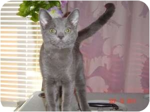 Russian Blue Cat for adoption in Medford, New Jersey - Lil Kath