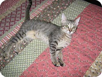 Domestic Shorthair Kitten for adoption in Naples, Florida - Amelia