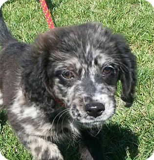 Australian Shepherd/Spaniel (Unknown Type) Mix Puppy for adoption in Brattleboro, Vermont - Shay