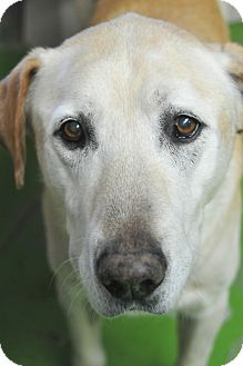 Labrador Retriever Dog for adoption in Denver, Colorado - Prince