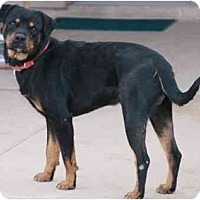 Adopt A Pet :: Domingo - Gilbert, AZ