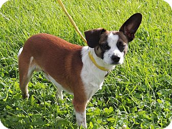 Chihuahua/Jack Russell Terrier Mix Dog for adoption in Sullivan, Missouri - Dexter