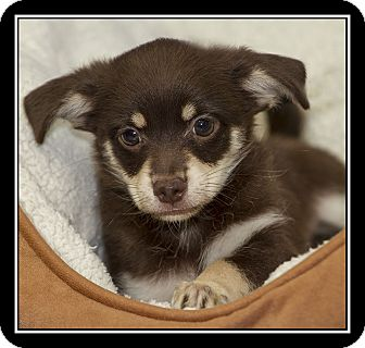 Maltese/Chihuahua Mix Puppy for adoption in San Diego, California - Sable