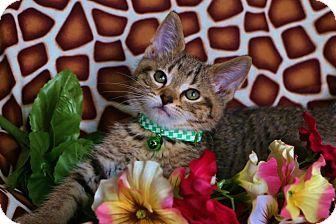 Domestic Shorthair Kitten for adoption in Anoka, Minnesota - Stripes