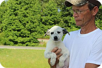 Blue Heeler Mix Puppy for adoption in Coventry, Rhode Island - Janis