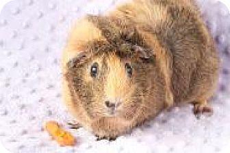 Guinea Pig for adoption in Grand Rapids, Michigan - Pancakes