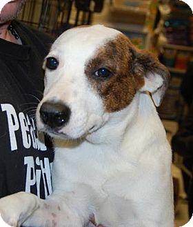 Shepherd (Unknown Type) Mix Puppy for adoption in Brooklyn, New York - Samantha