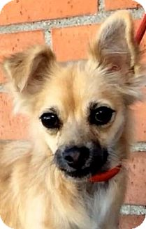 Papillon Mix Dog for adoption in Los Angeles, California - BUFFY (video)
