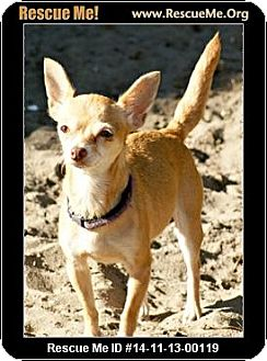 Chihuahua Dog for adoption in Fort Myers, Florida - Chiquita