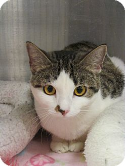 Domestic Shorthair Cat for adoption in Pueblo West, Colorado - Pebbles