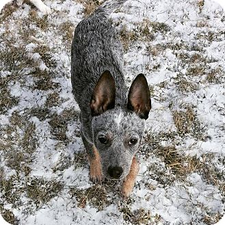 Australian Cattle Dog Puppy for adoption in Franklin, Indiana - Elsa