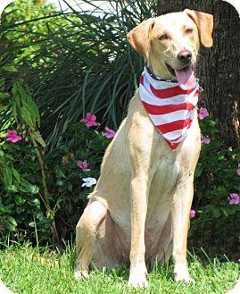 Labrador Retriever/Hound (Unknown Type) Mix Dog for adoption in Port St. Joe, Florida - Rachael
