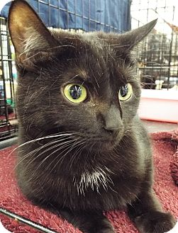 Domestic Shorthair Cat for adoption in Charlotte, North Carolina - A..  Milo