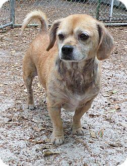 Pug/Beagle Mix Dog for adoption in Savannah, Georgia - Bug