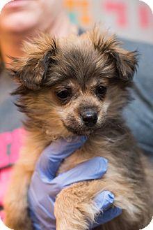 Pomeranian/Shepherd (Unknown Type) Mix Puppy for adoption in Minneapolis, Minnesota - Ria