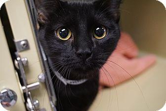 Domestic Shorthair Cat for adoption in Farmington, New Mexico - Midnight