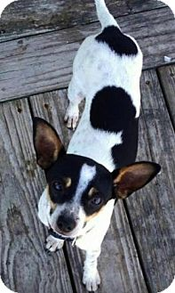 Rat Terrier Mix Dog for adoption in Saddle Brook, New Jersey - Caleb