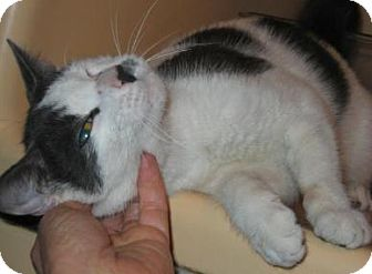 American Shorthair Cat for adoption in Brooklyn, New York - Boo