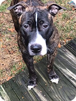 Pit Bull Terrier/Hound (Unknown Type) Mix Dog for adoption in Groton, Connecticut - Marlee