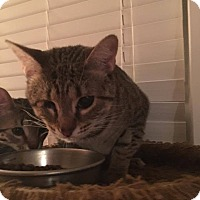 Adopt A Pet :: Jewels - Middlebury, CT
