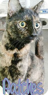 Domestic Shorthair Cat for adoption in Odessa, Texas - Patches