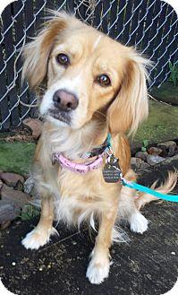 Cocker Spaniel/Spaniel (Unknown Type) Mix Dog for adoption in Sugarland, Texas - Star