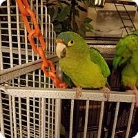 Adopt A Pet :: Wiggy - St. Louis, MO