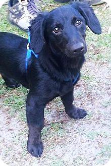 Dachshund Mix Puppy for adoption in Osteen, Florida - Liam