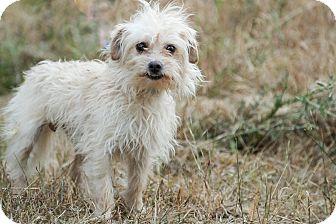 Maltese/Terrier (Unknown Type, Small) Mix Dog for adoption in Auburn, California - Sammy Davis jr