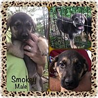 Adopt A Pet :: Smokey pending adoption - East Hartford, CT