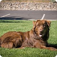 Adopt A Pet :: Bear - Gardnerville, NV