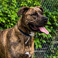 Boxer Mix Dog for adoption in Port Washington, New York - Cinderella