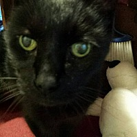 Adopt A Pet :: Merlin - Queensbury, NY