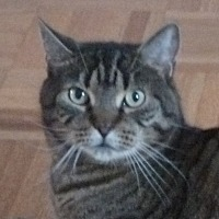 Domestic Shorthair Cat for adoption in Toronto, Ontario - Eddard
