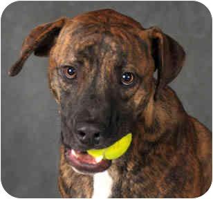 Plott Hound/Mountain Cur Mix Dog for adoption in Chicago, Illinois - Jake