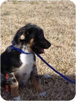 Catahoula Leopard Dog/Labrador Retriever Mix Puppy for adoption in Jacksonville, North Carolina - Leo