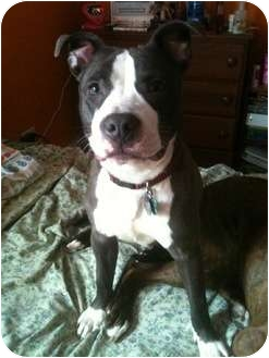 American Pit Bull Terrier Puppy for adoption in Oak Lawn, Illinois - Rodger