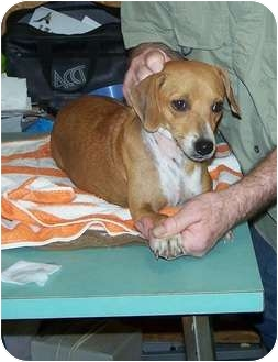 Dachshund/Terrier (Unknown Type, Medium) Mix Dog for adoption in Ft. Towson, Oklahoma - Cutie